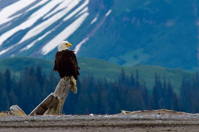 bald-eagle-2030735_640-1